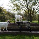 Middle Farm | Goats